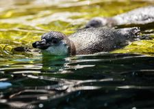 African penguin summer Stock Images