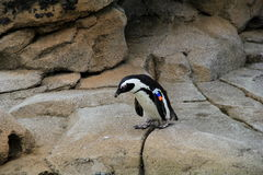 African Penguin surrounded by large rocks Royalty Free Stock Images