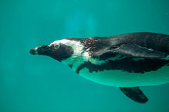 African penguin swims in the water in the Tbilisi zoo, the world Royalty Free Stock Photos