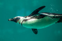 African penguin swims in the water in the Tbilisi zoo, the world Royalty Free Stock Images