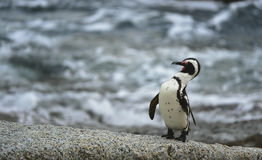 African penguin in twilights. Royalty Free Stock Photos