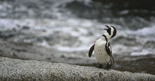 African penguin in twilights. Stock Photos