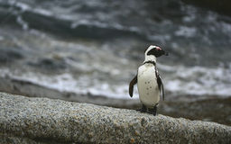 African penguin in twilights. Stock Image