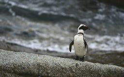 African penguin in twilights. African Penguin (spheniscus demersus) , National Park, Boulders, South Africa Stock Image