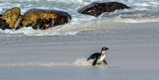 African penguin walk out of the ocean on the sandy beach Stock Photography