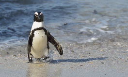 African penguin walk out of the ocean on the sandy beach. Royalty Free Stock Image