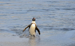 African penguin walk out of the ocean on the sandy beach. Royalty Free Stock Images
