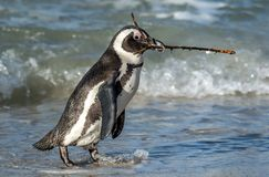 African penguin walk on the sandy beach and carries a twig for building a nest. Nesting period. African penguin also known as the penguin and black-footed royalty free stock photography