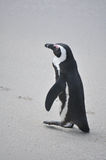 African penguin walking on beach Royalty Free Stock Photos
