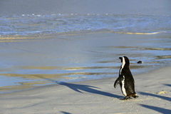African penguin Royalty Free Stock Image