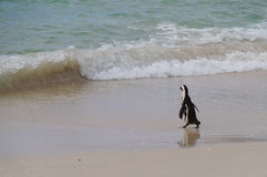 African penguin walking to the sea , South Africa Stock Image