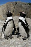 African Penguins. Two african penguins funny looking Stock Photography