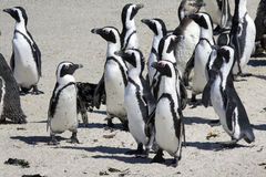 African penguins Stock Photo