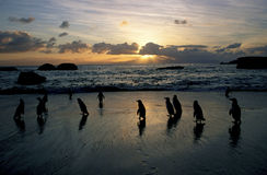 African Penguins. A silhouette of African Penguins at the Cape seashore at dawn Stock Photos