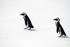 African penguins. On boulders beach Royalty Free Stock Images