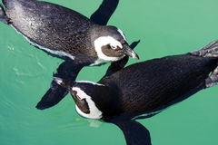 African penguins. African penguin or penguin or black-footed penguin (Spheniscus demersus stock photos