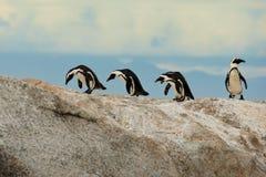 African Penguins. African Jackass penguins walking over the rocks at Boulders Beach near Simonstown Stock Images