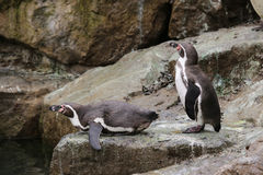 African Penguins. 2 African Penguins on a rock stock photography