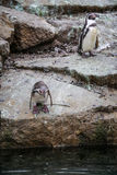 African Penguins. 2 African Penguins on a rock 1 ready to jump in royalty free stock photo