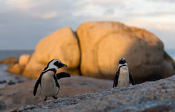 Free African Penguins Royalty Free Stock Image - 37226216