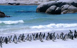Free African Penguins Stock Photography - 4758602