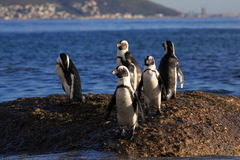 African Penguins. Group of penguins going fishing at bolders beach South Africa stock photo
