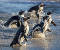 African penguins. African penguin (spheniscus demersus) walk out from ocean. Royalty Free Stock Photos