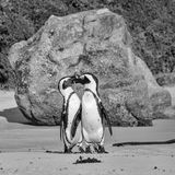 African Penguins. On the seashore in Southern Africa Royalty Free Stock Photography