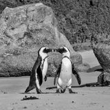 African Penguins. On the seashore in Southern Africa Royalty Free Stock Photos