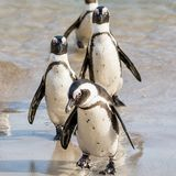 African Penguins. On the seashore in Southern Africa Royalty Free Stock Images