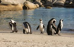 African Penguins. On the seashore in Southern Africa Stock Photos