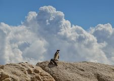 African Penguins. On the seashore in Southern Africa Stock Images