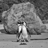 African Penguins. On the seashore in Southern Africa Stock Image