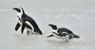 African penguins. African penguins (spheniscus demersus), also known as the jackass penguin and black-footed penguin is a species Royalty Free Stock Photos