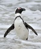 African penguins. African penguins (spheniscus demersus), also known as the jackass penguin and black-footed penguin is a species Stock Photography