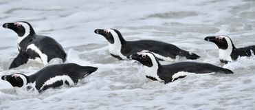 African penguins. African penguins (spheniscus demersus), also known as the jackass penguin and black-footed penguin is a species Stock Image
