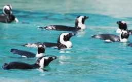 African penguins. African penguins swimming in national park Stock Photography