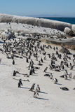 African penguins, also known as Jackass penguins on the beach Stock Photos