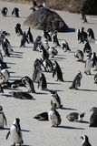 African penguins, also known as Jackass penguins on the beach Royalty Free Stock Images