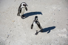 African penguins, also known as Jackass penguins on the beach Royalty Free Stock Image