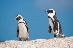 African penguins, also known as jackass penguins or black-footed Stock Photography