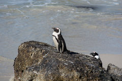 African penguins, also known as Jackass penguins sitting on a ro. Ck at Boulders Beach, Simonstown, South Africa Stock Image