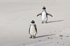 African penguins on beach. Two African or Jackass penguins on a beach, one flapping its wings Stock Images