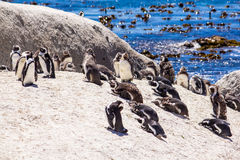 African penguins on the beach Stock Image