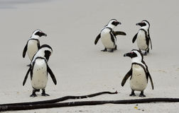 African penguins  at the Beach. Royalty Free Stock Photography