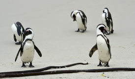 African penguins  at the Beach. Royalty Free Stock Photos