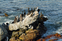 African penguins in Betty's bay Stock Image