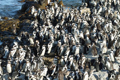 African penguins in Betty's bay Stock Photos