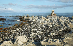 African penguins in Betty's bay Stock Photography