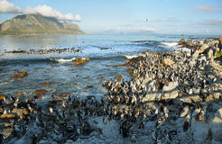African penguins in Betty's bay Royalty Free Stock Photography